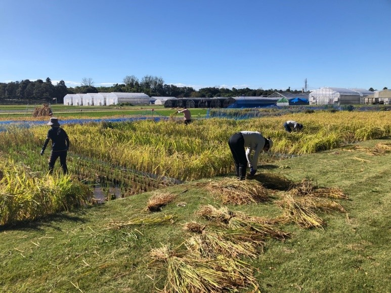 施肥試験区の番外のコシヒカリを刈り取る参加者(10月13日)
